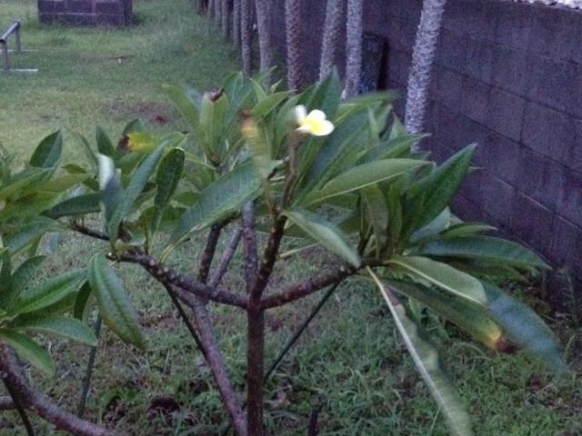 耐えるプルメリアの木