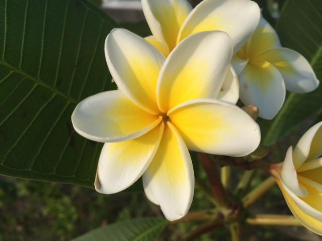 6枚花のプルメリア